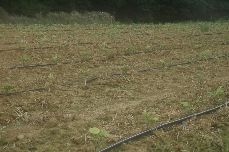New melon planting